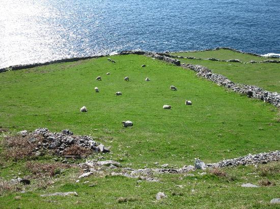 Slea Head Drive: Lots of Sheep