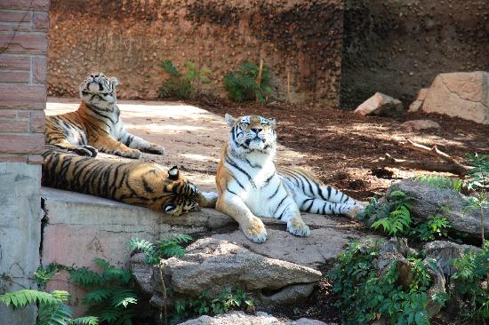 Denver Zoo: Tigers
