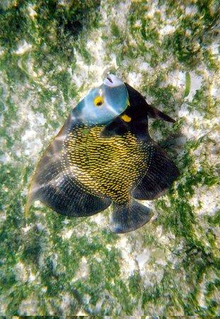 Arashi Beach: French angelfish