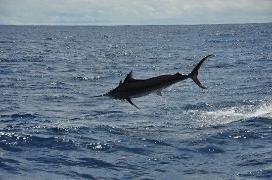 JP Sport Fishing Tours: Marlin diving!!!
