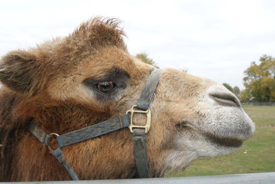 Mundenhof : Kamele, ganz zahm