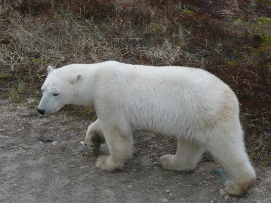 Classic Canadian Tours Polar Bear Safari: Polar bear walking by our buggy