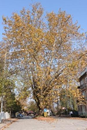 Sapanca, Tyrkiet: Büyük Çınar Ağacı