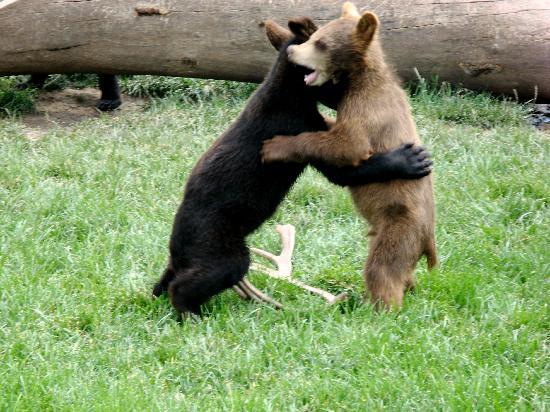 Bear Country USA: Playful bear cubs at Bear Country