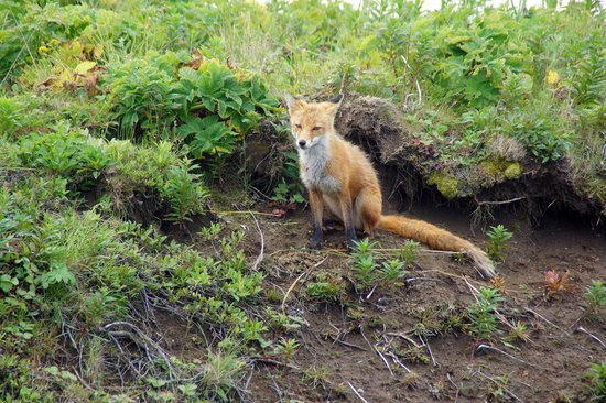 Cold Bay, AK: Arctic Fox not afraid, Izembek NWR