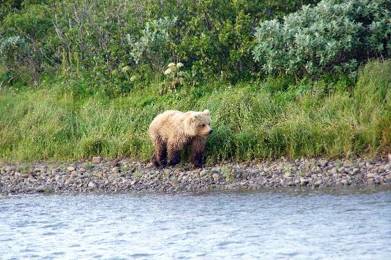 """Honey"" bear (grizzly) near Cold Bay Lodge"