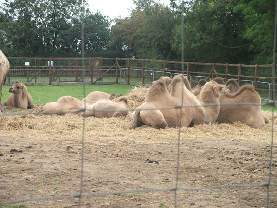 Halesworth, UK: Camels