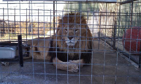 Turpentine Creek Wildlife Refuge: Patiently waiting