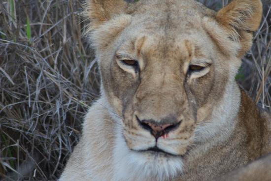 Kapama Karula : Lioness at Kapama