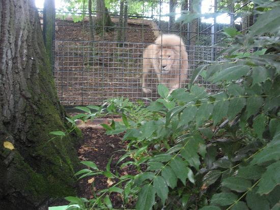 ZooParc de Beauval: lion blanc