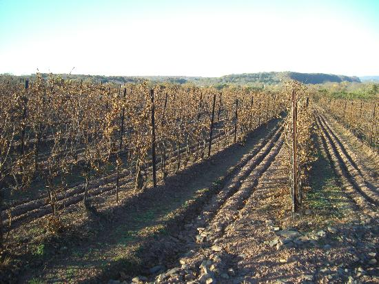 Sand Castle Winery: beautiful vineyards after the harvest