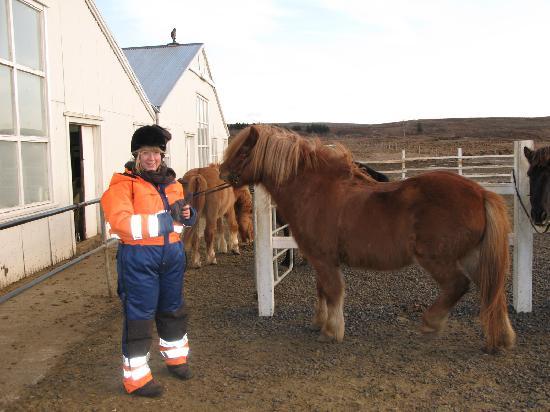 Mosfellsbaer, Islandia: Icelandic horses are mini heros