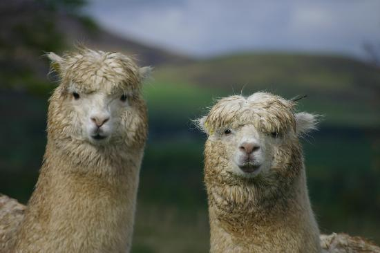 Cormiston Farm B&B: Alpacas at Cormiston Farm
