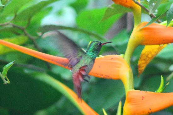 Pook's Hill Lodge: Rufus tailed Humming bird