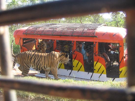 Subic Bay Freeport Zone, Filipiny: Tigers waiting for their merienda treat