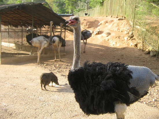 Subic Bay Freeport Zone, Filippinene: Ostrich in the open