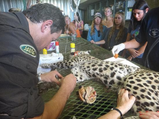 N/a'an ku se Lodge and Wildlife Sanctuary: Leopard rescue, being checked was later released