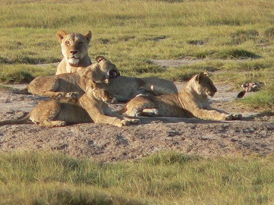 Cruzeiro Safaris - Day Tours : Lion