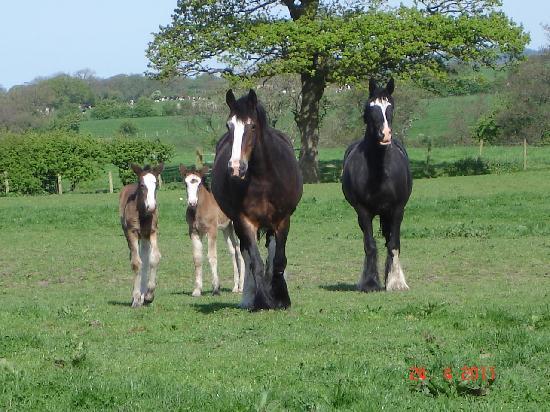 Isles Field Barn: Isles Field Farm Shire Horses