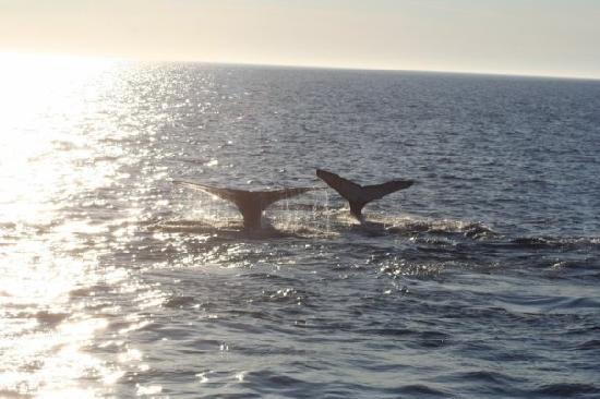 Mariner Cruises Whale and Seabird Tours: Twin tails in the sunset.
