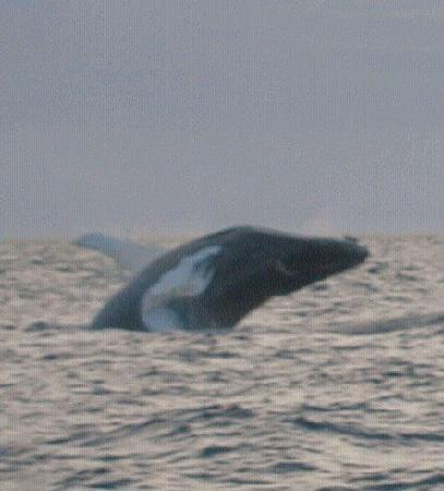 Mariner Cruises Whale and Seabird Tours: Humpback breaching in the distance