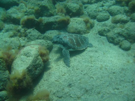 Dive Center Descubare-Atlantico: Sea turtles, they are so friendly