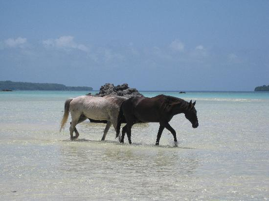 Lope Lope Lodge: Each day the rescued horses would wonder through the beach in front to cool down