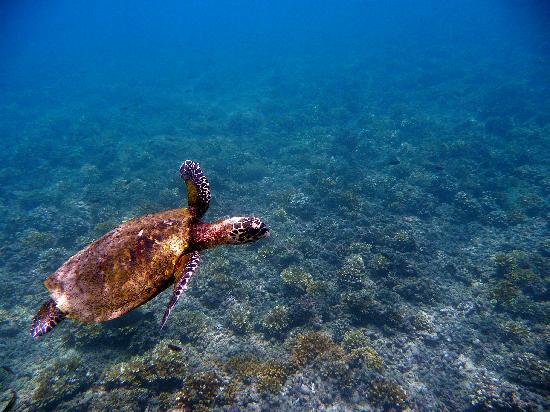 Coiba Island National Park: carey turtle