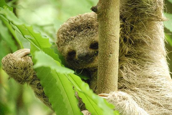 Byblos Resort & Casino: Baby Sloth at Hotel Byblos!