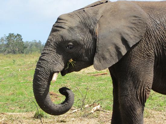 Knysna Elephant Park: One of 'the residents'