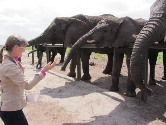 Knysna Elephant Park: Feeding time :)