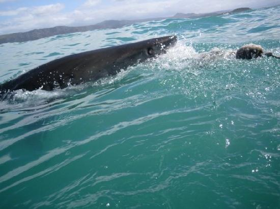 The sharks come right next to the boat as they follow up on