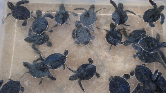 Loggerhead Marinelife Center Rescued Baby Turtles