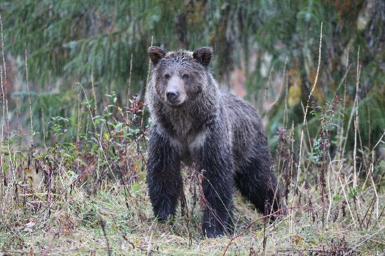 Great Bear Lodge: Young Grizzly Bear on the Estuary