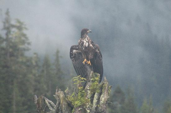Great Bear Lodge: Young Bald Eagle