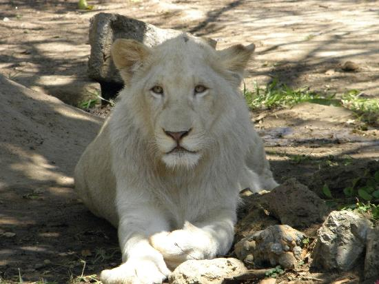 Parays Game Ranch: White lion