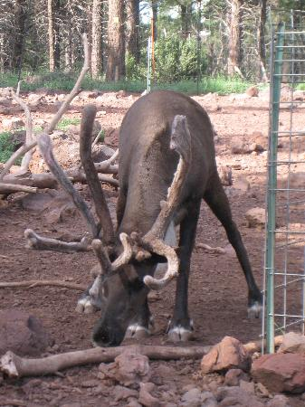 Grand Canyon Deer Farm: :)
