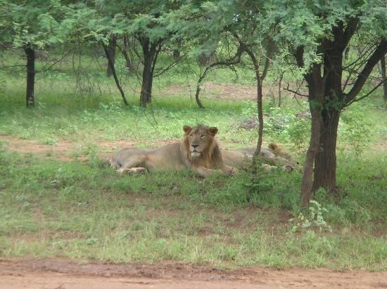 Vanvaso Resort: LION AT DEVALIYA PARK