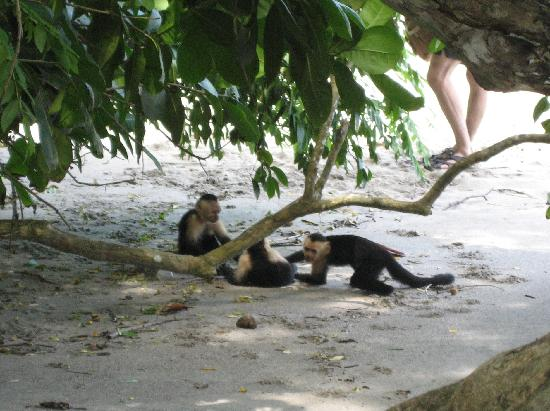 Playa Manuel Antonio: Monkeys playing on the beach