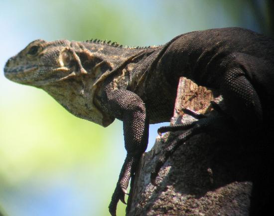 Playa Manuel Antonio: An iguana in Manuel Antonio National Park