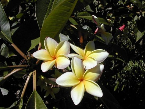 Enchanting Floral Gardens : プルメリア