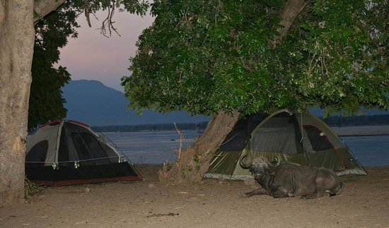 Camping Sites at Mana Pools National Park: One of 'our' 3 camp buffalo's
