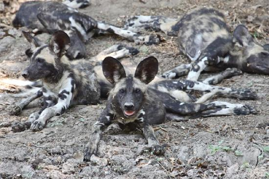 Mana Pools National Park, Zimbabwe: Rare and wonderful African Painted Dog.