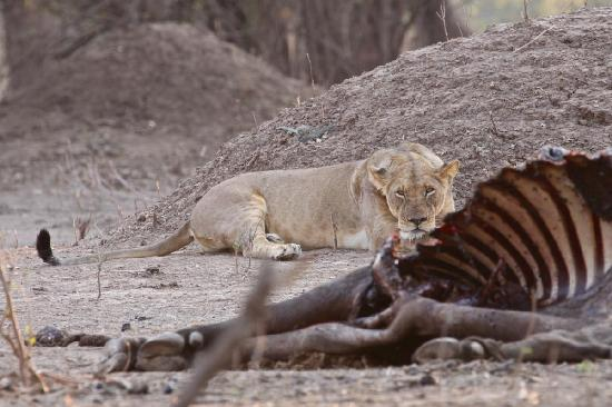 Camping Sites at Mana Pools National Park: Pride matriarch garding the kill