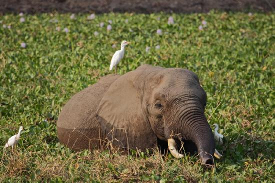 Camping Sites at Mana Pools National Park: Ele bathing and grazing.