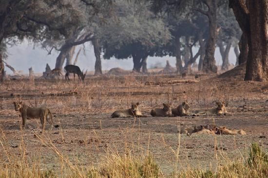 Camping Sites at Mana Pools National Park : Lions on buffalo kill - a typical Mana scene