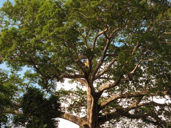 Amazon Tree Climbing: the Samaúma Canopy