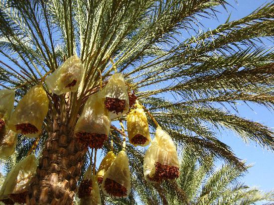 Dar Souleiman : un palmier de l'oasis