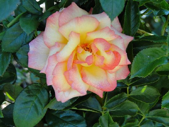 Russian River Rose Company: JUST ONE ROSE AMONG THOUSANDS