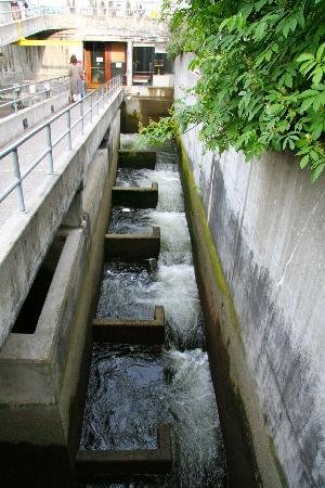 Nearby fish ladder for salmon picture of hiram m for Ballard locks fish ladder